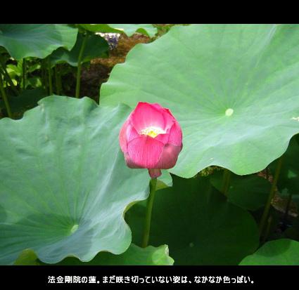 法金剛院の蓮。まだ咲き切っていない姿は、なかなか色っぽい。