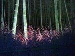 嵐山花灯路-竹林